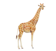 Giraffe ##STADE## - coat 34