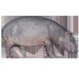Hippopotamus ##STADE## - coat 52