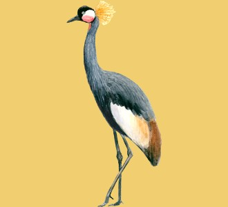 Black Crowned Crane ##STADE## - coat 34