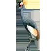 Black Crowned Crane ##STADE## - coat 34