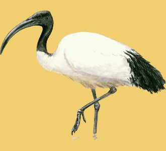 Take in a african sacred ibis species animal of the savannah