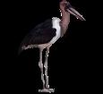 Marabou stork ##STADE## - coat 5