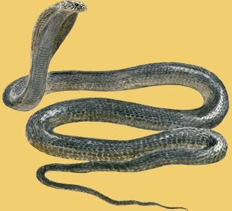 Take in a cobra species animal of the savannah