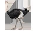 Ostrich ##STADE## - coat 5