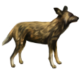 African wild dog ##STADE## - coat 36