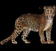 Leopard ##STADE## - coat 46