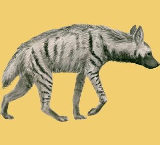 Striped Hyena ##STADE## - coat 9