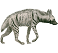 Striped Hyena ##STADE## - coat 9