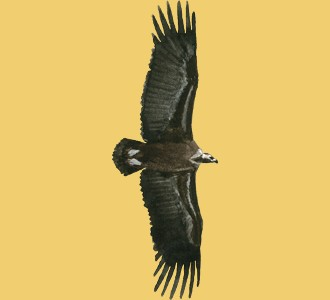 Take in a vulture species animal of the savannah