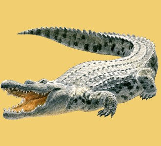 Crocodile ##STADE## - coat 66